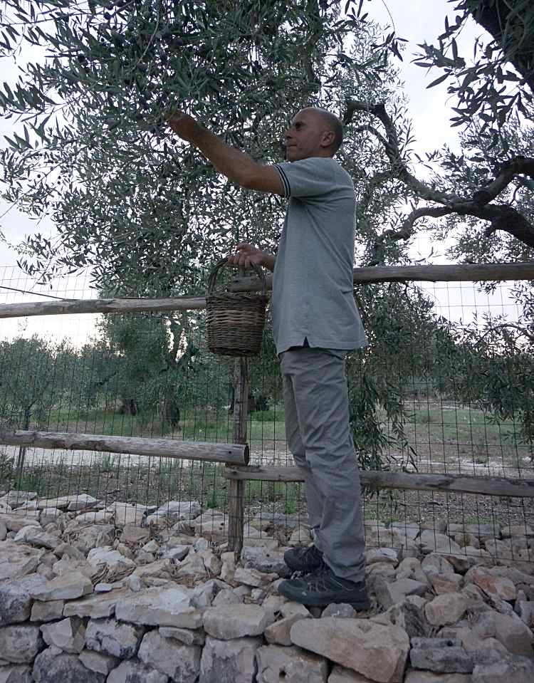 picking sweet olives picture